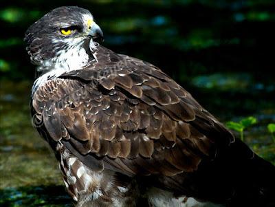 Aquila spilogaster