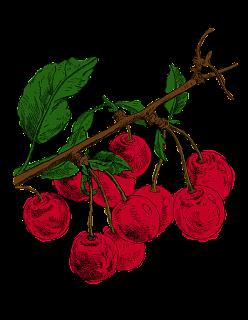 cherry tree illustration fruit image