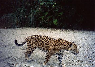 Yaguareté Panthera onca