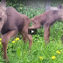 Two Moose Rescued -Video-