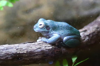 Cave-dwelling Tree Frog
