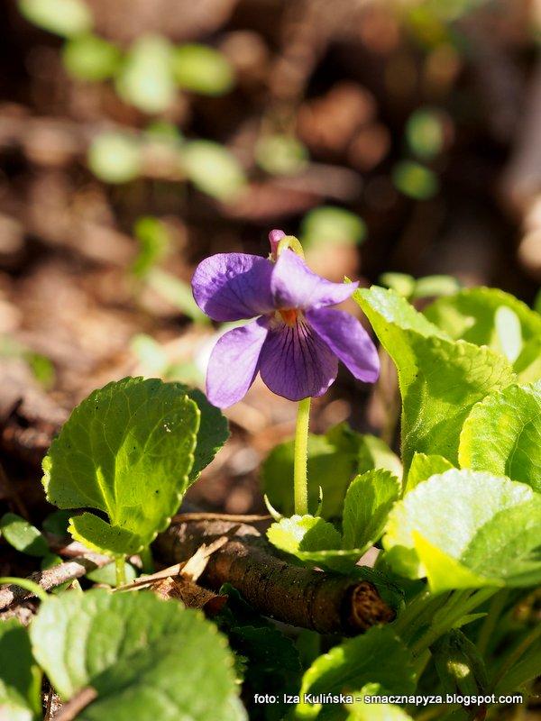 fioleczki, kwiatki, wiosna, wiosenne kwiaty, kwiatek, filetowe, pachnace