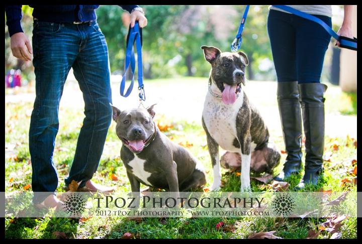 Pit Bulls Portraits