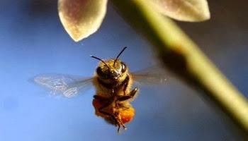 Медоносная пчела машет крыльями с частотой 300 взмахов в секунду,