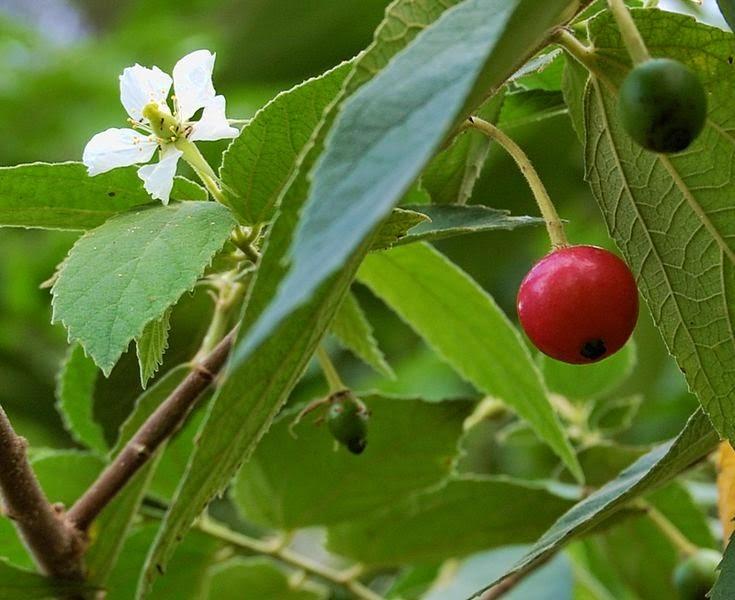 Manfaat Daun Kersen Bagi Kesehatan Tubuh, khasiat daun kersen untuk kesehatan