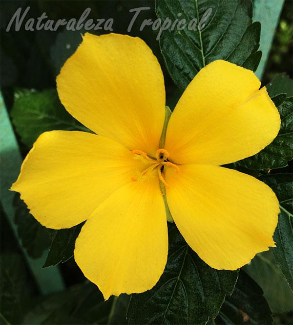 Flor de la Marilope, Turnera ulmifolia