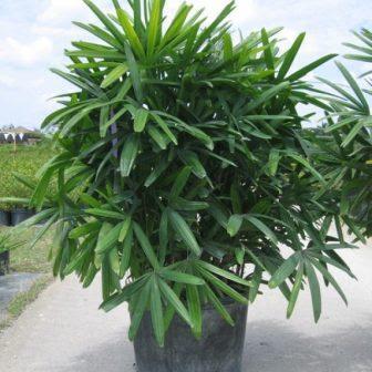 pohon palem waregu