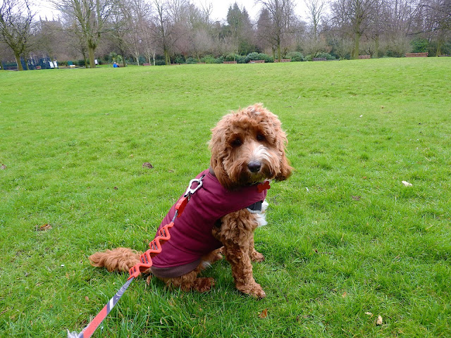 Red and white cockapoo puppy sat on grass wearing burgundy coat