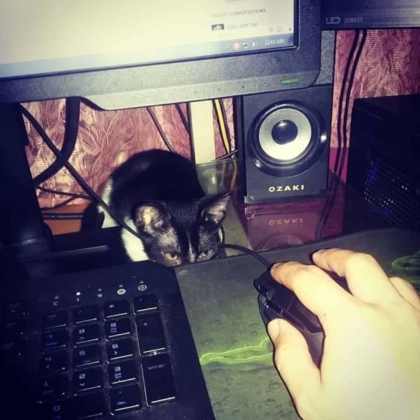 кот охотится на компьютерную мышку