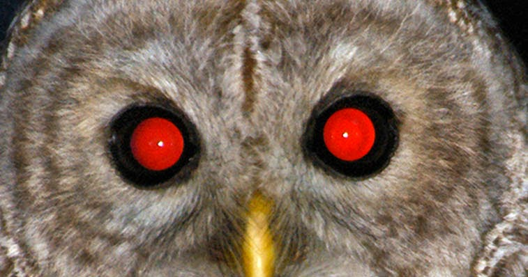 Gambar Burung Hantu  Dunia Binatang