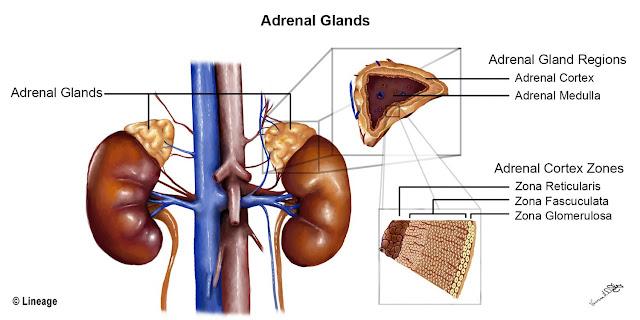 Adrenal kortex Adalah - Kamus Biologi Online
