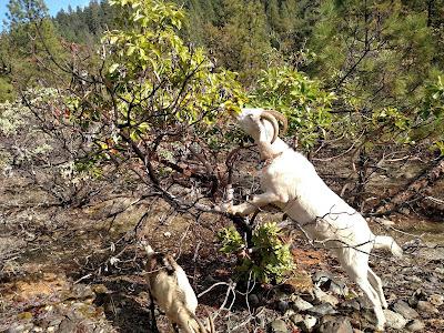 Goat eats Madrone tree, Klamath California