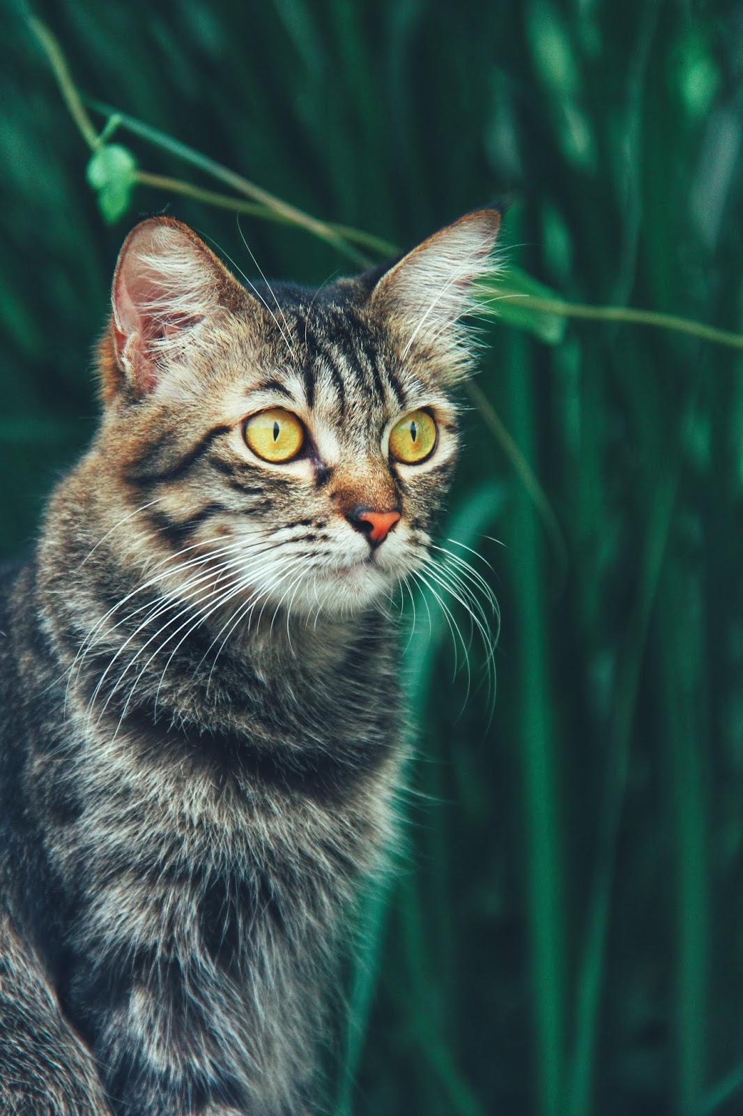 20 Koleksi Gambar Kucing Comel Bernama Tambi 10