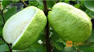 Top ! 7 Benefits of Behind Fresh Guava Fruits - Healthy T1ps