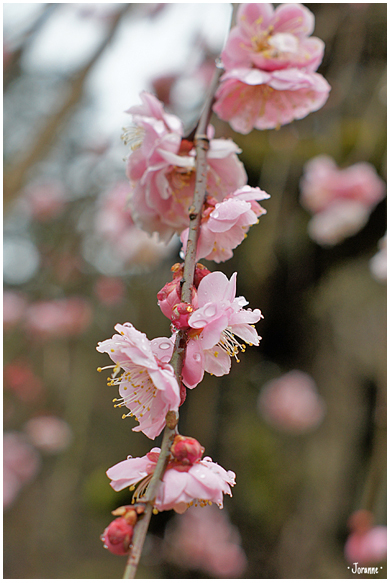 Prunier en fleur, nous sommes en mars