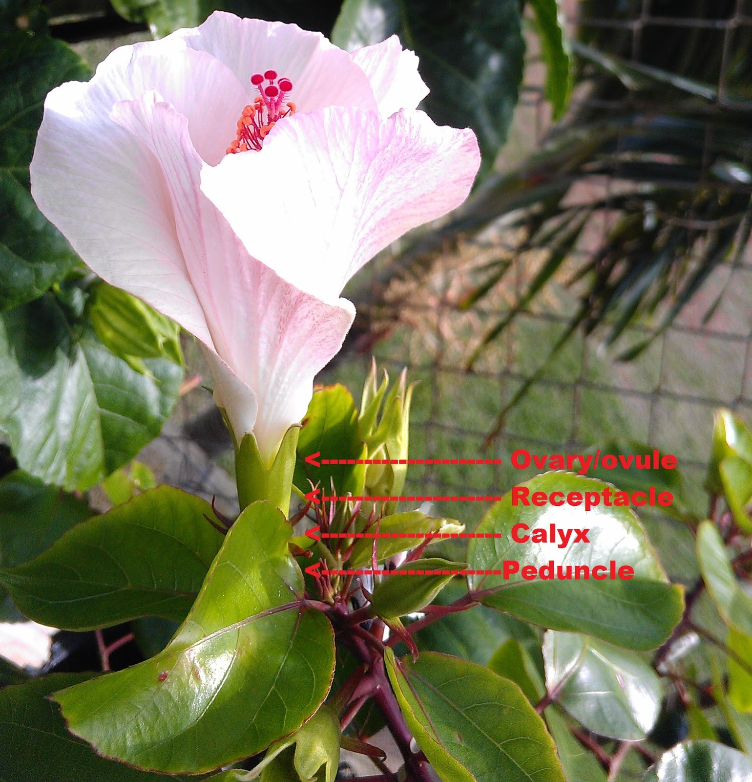 Kapu Gardens How To Hybridize Hibiscus