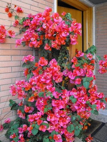 Piante e fiori note generali sugli arbusti rampicanti for Piante rampicanti