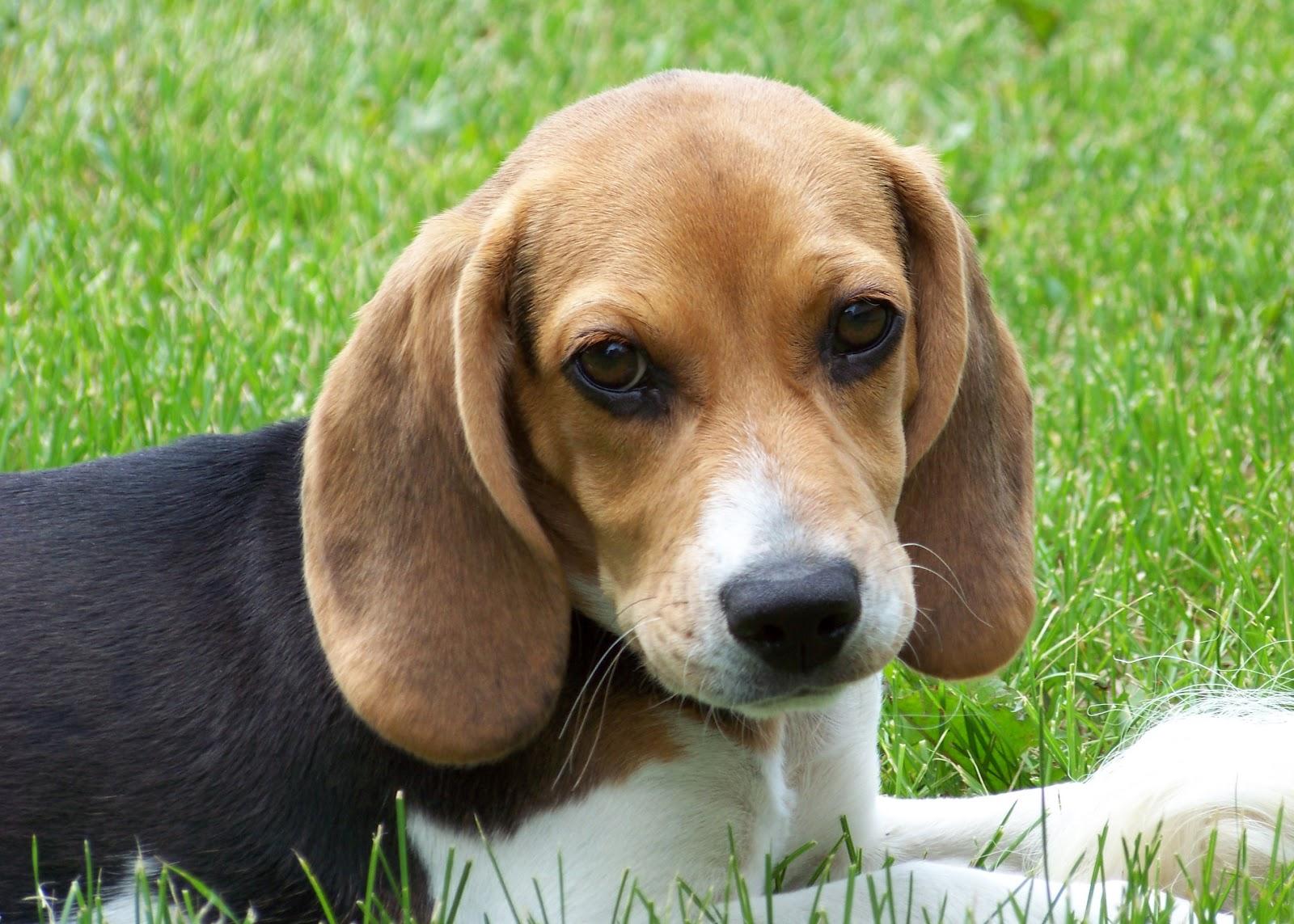 Kamus Anjing Beagle