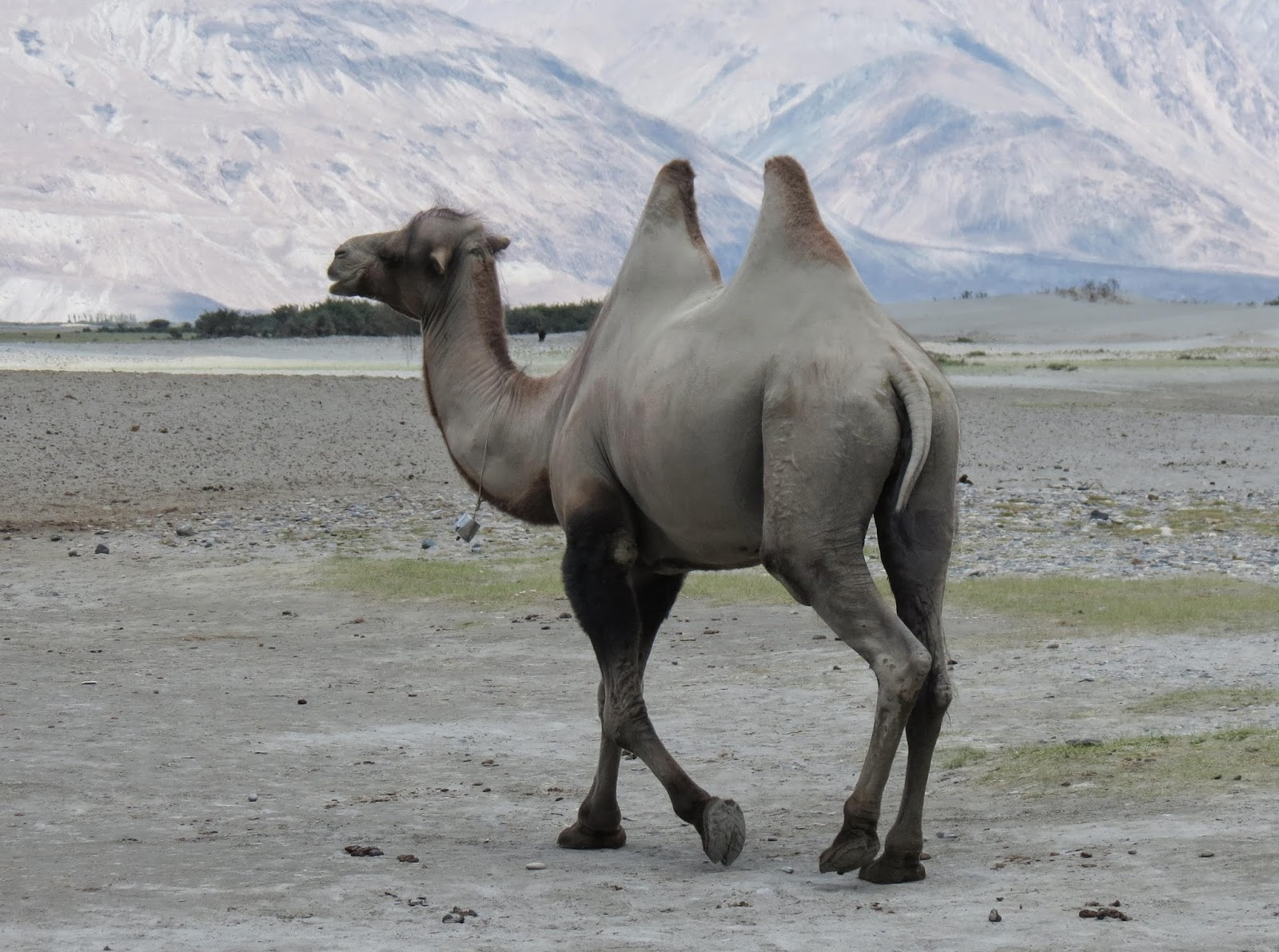 Nubra valley camels, Ladakh places to visit