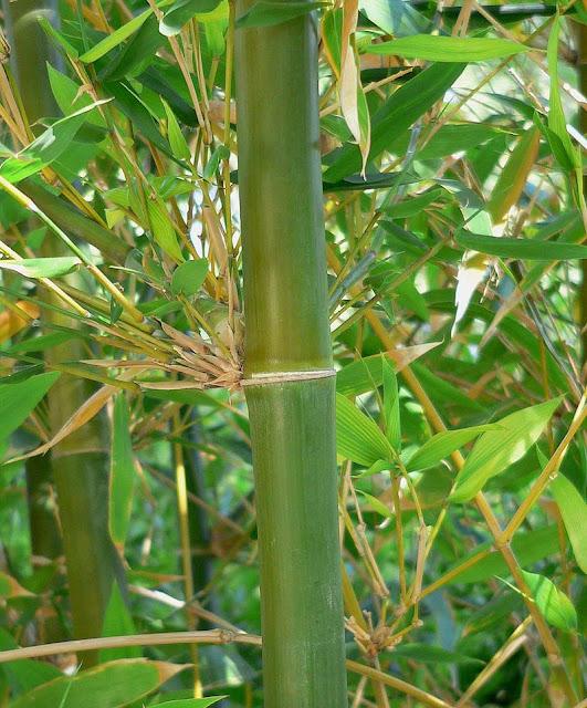 Trúc Diệp - Bambusa sp - Nguyên liệu làm thuốc Chữa Cảm Sốt