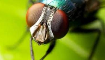 Proses Metamorfosis Lalat dari Telur - Lalat Dewasa