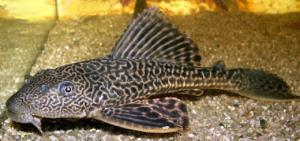 Globiform, contohnya ikan in sucher