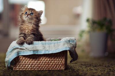 Imagenes de gato con ojos azules