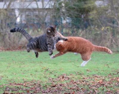 Foto kucing berantem yang keren 08