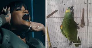 Papagaio canta Rihanna