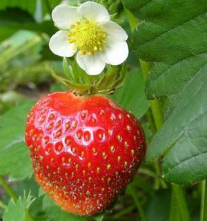 Gambar buah strawberi