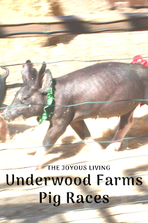 Underwood Farms Pig Races! (c) The Joyous Living