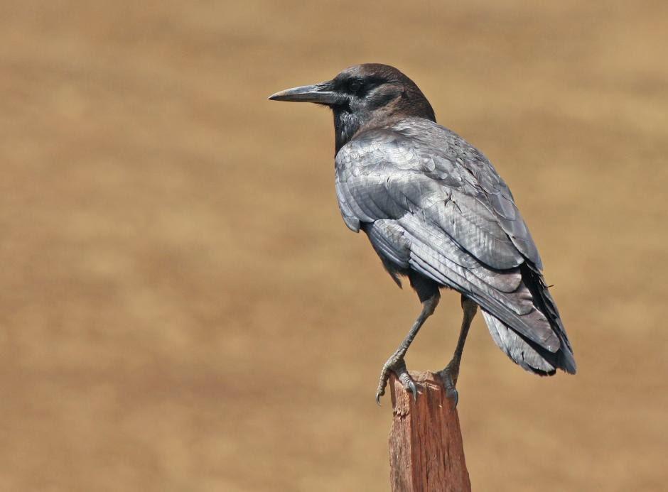 Cuervo del Cabo, Corvus capensis