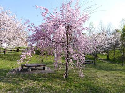 寝屋川公園の枝垂桜