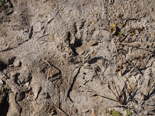 raccoon handprint in dried mud at Stone State Park in Sioux CIty, Iowa