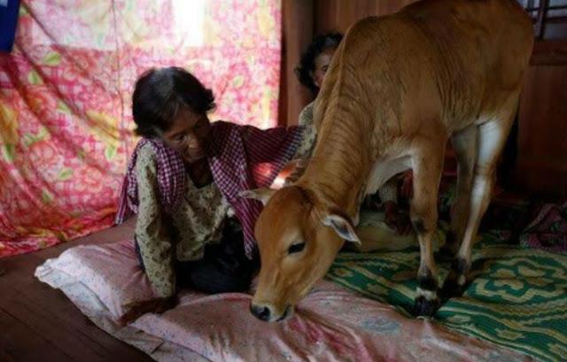Viral, Anak Lembu ini dipercayai Sebagai Reingkarnasi Suaminya, Inilah Cerita Sang Istri