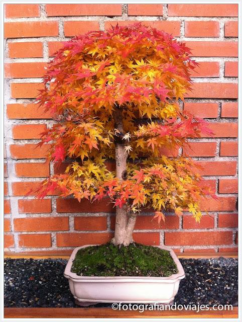 Bonsai de la especia Acer palmatum