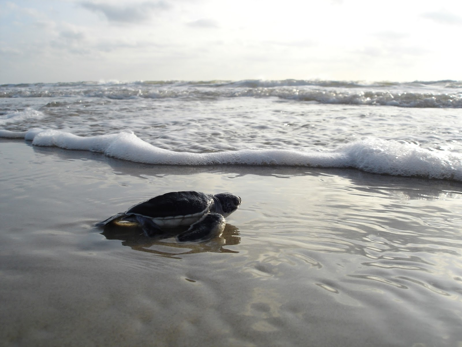 Picture of a baby green-sea-turtle reaching the ocean.