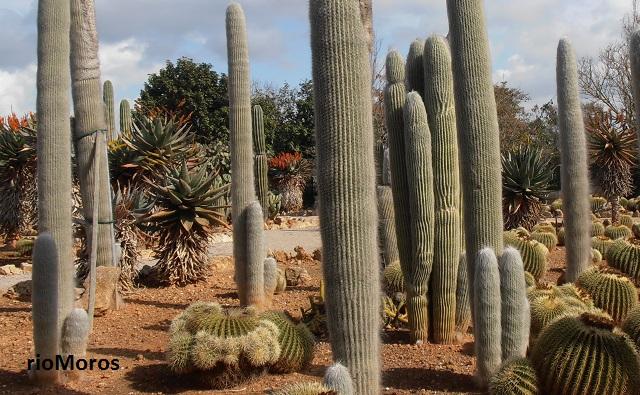 CABEZA DE VIEJO Cephalocereus senilis cactus de hombre viejo, cefalocero, viejito