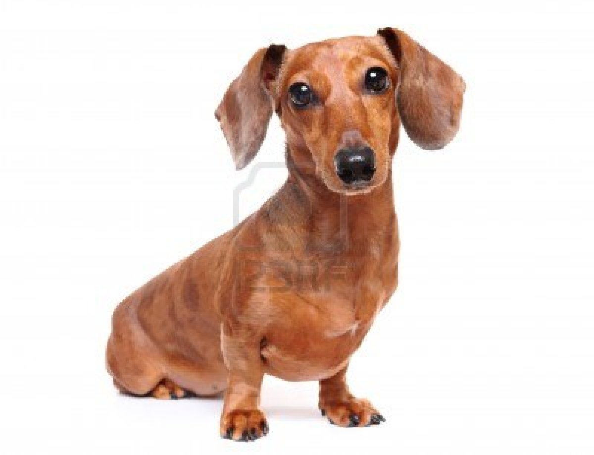Cute Dachshund Wallpaper Cute Dogs Dachshund Dog