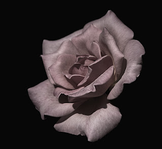 rose,transformation,photography, subdued,pink