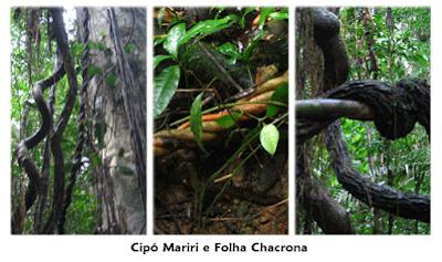 AYAHUASCA - CIPÓ MARIRI E FOLHA CHACRONA-2