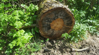 The end of a cut tree in College Wood, Nr Nash Buckinghamshire