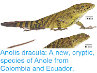 https://sciencythoughts.blogspot.com/2018/11/anolis-dracula-new-cryptic-species-of.html