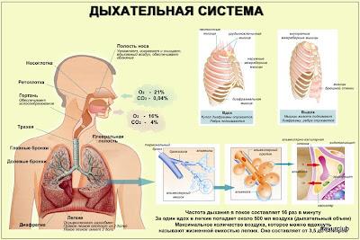 Дыхательная система организма человека - нажать для увеличения