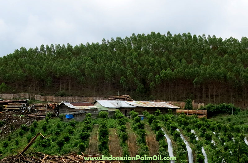 Indonesian palm oils environmental impact
