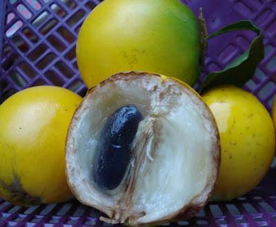 Abiu (Pouteria caimito) Overview, Health Benefits, Side effects