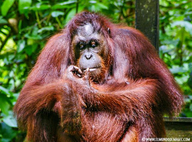 ver-orangutanes-en-borneo-sepilok-el gran macho