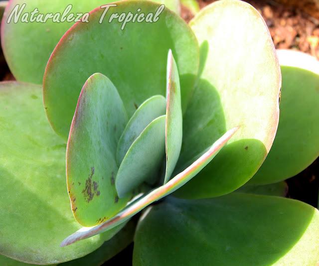 El Caracol de Mármol, Kalanchoe thyrsiflora