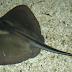 Klasifikasi Ikan Pari