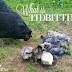 Tidbitting | What It Is and Why Do Chickens Do It